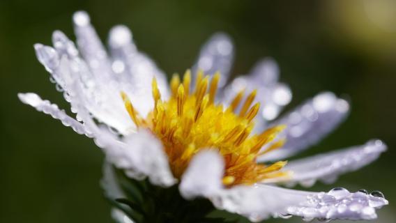 Blume nach dem Regen