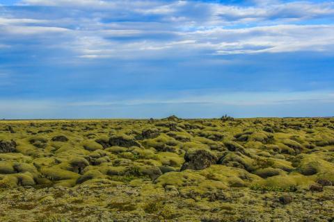 Isländisches Moos