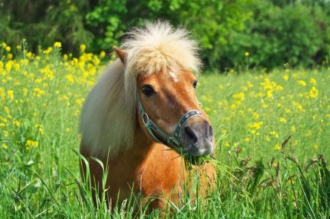Shetland Pony Willy