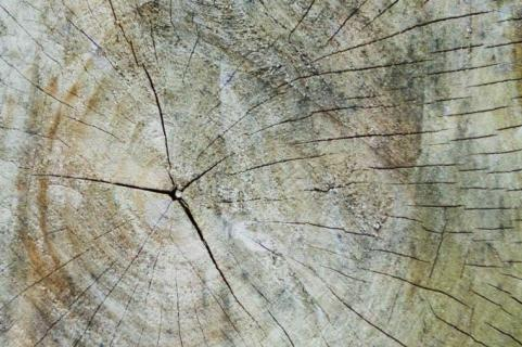 Baumquerschnitt
