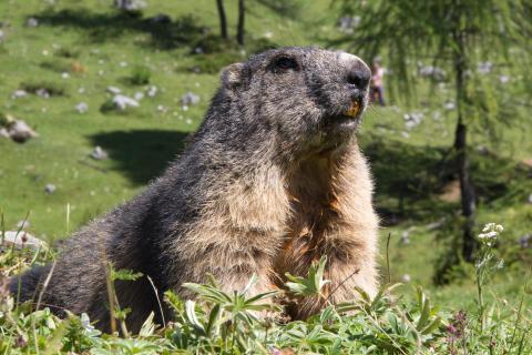 Murmeltier Alpen Wildlife