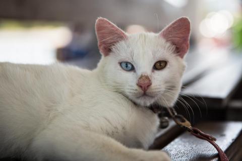 Katze zweifarbige Augen