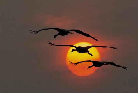 Kraniche beim Sonnenuntergang ...