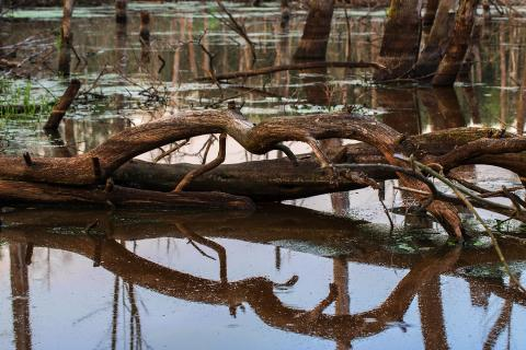 Sumpf mit Baumspiegelung