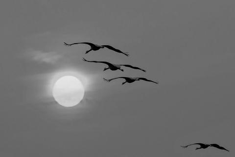Kraniche der Sonne entgegen