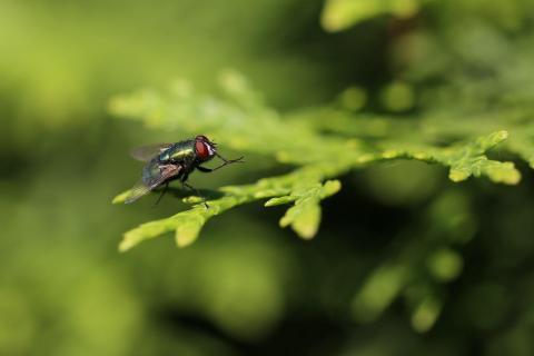 grüne Fliege im Grünen