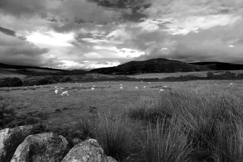 Schottland Schafe auf Arran