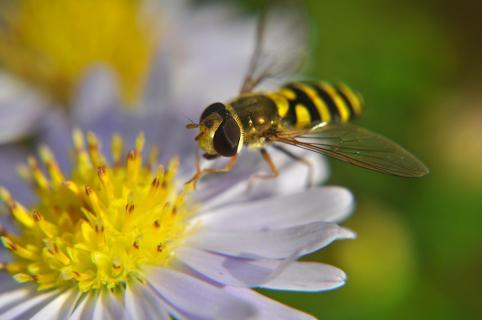 Biene im Sommer