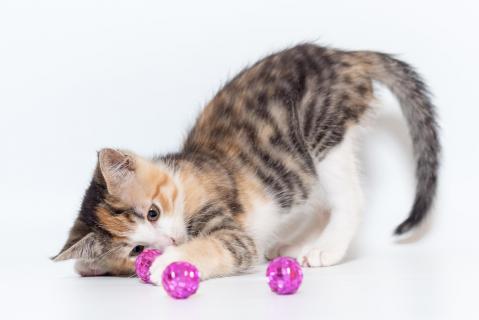 Katzenspieltrieb