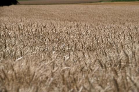 Kornfeld bereit zur Ernte