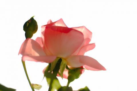 Rose Pink Panter 6