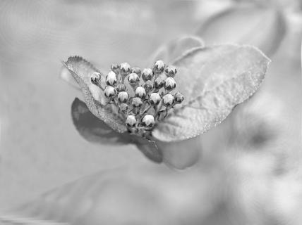 Aroniabeerenblüten
