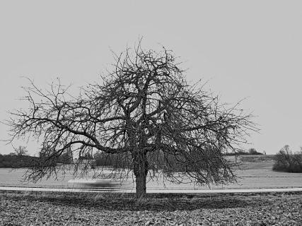 Am Wegesrand (alter Kirschbaum)