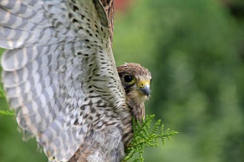 Junger Falke bereit zum Abflug