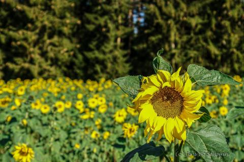 Sonnenblume 10.2018
