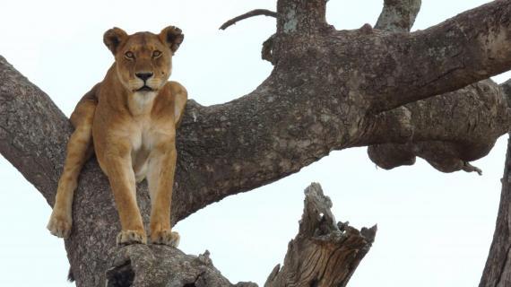 Herrscherin mit Übersicht (Serengeti)