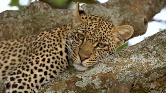 Je T'aime Mon Amour (Leopard, Serengeti)