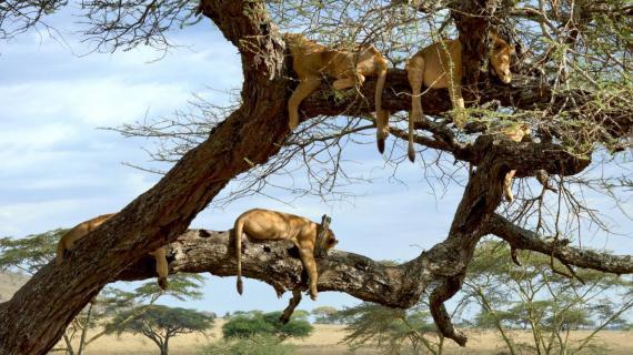 Fünf Siegertypen (Serengeti)