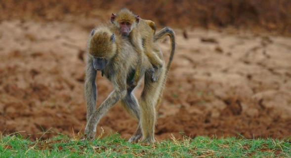 Abschleppdienst (Pavianmutter in Tsavo Ost)
