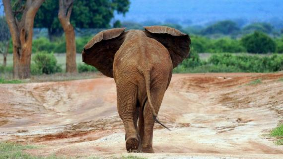 Mit mir nicht . . (Roter Elefant in Tsavo Ost)