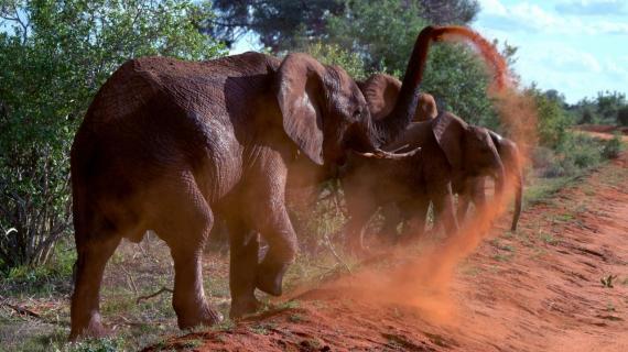 Abstauber (Rote Elefanten, Tsavo Ost)