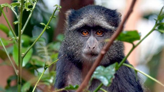 Können diese Augen lügen (Diadem Meerkatze, Tansania)