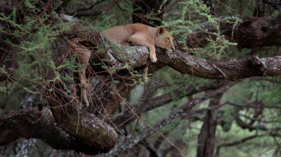 Oh ist mir langweilig (Baumlöwe am Lake Manyara)