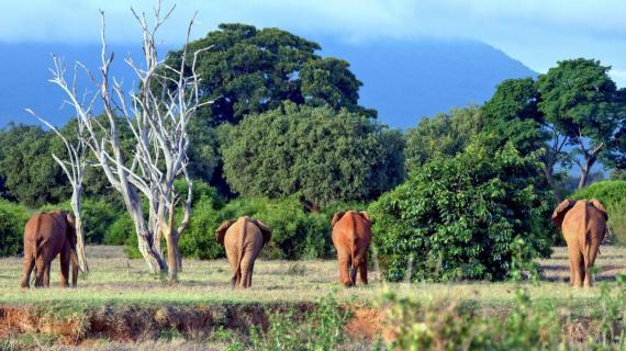vier gewinnt . . . (Kenia, Tsavo Ost)