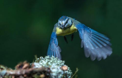 Junge Blaumeise im Anflug