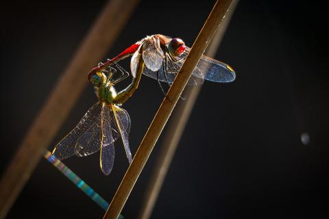 Libellenrad