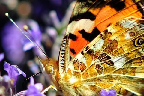 Schmetterling - Distelfalter auf einer Lavendelblüte