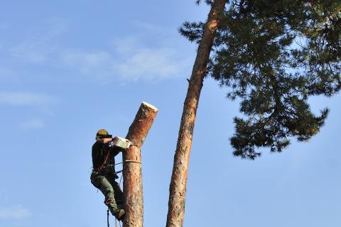 Holzfäller in der Kiefer