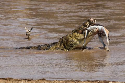 Lunch - Krokodil frisst Antilope