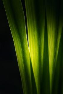 Gelbe Sumpf-Schwertlilie im Gegenlicht