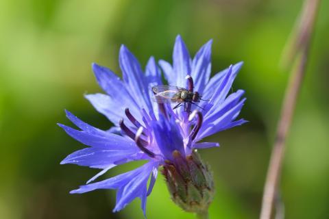 Kornblume (Centaurea cyanus) (2)