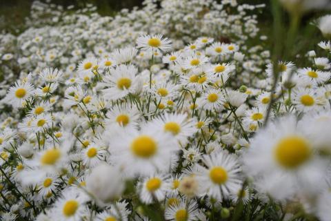 Margerite ( Chrysanthemum Leucanthemum)