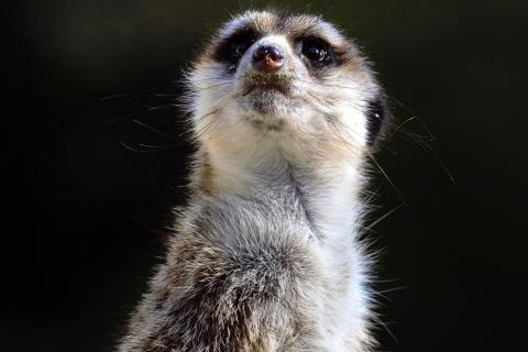 Erdmännchen (Suricata suricatta) (3)