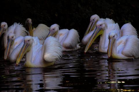 Pelikan-Mannschaft