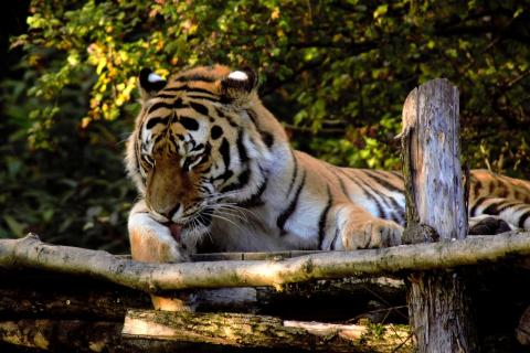 Sibirische Tiger (Panthera tigris altaica (2)