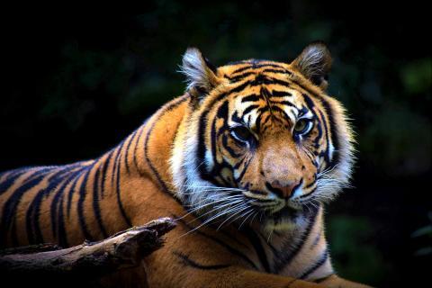 Sumatra Tiger (Panthera tigris sumatrae) (6)