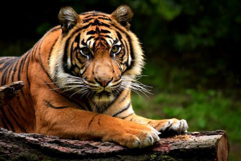 Sumatra Tiger (Panthera tigris sumatrae) (12)