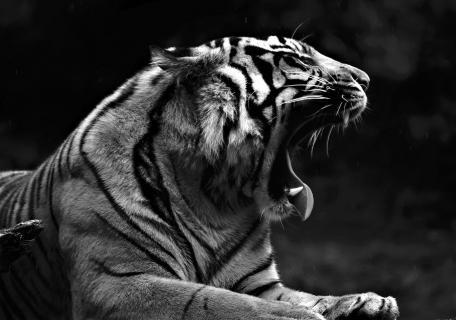 Sumatra Tiger (Panthera tigris sumatrae) (17)