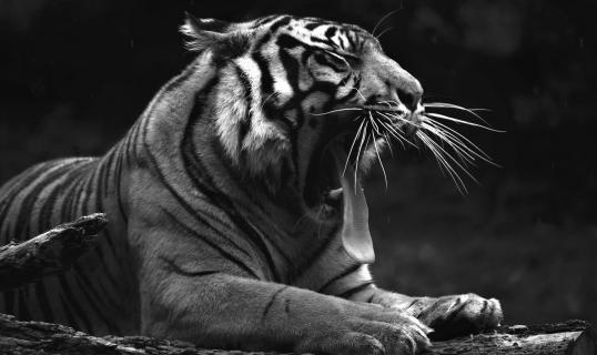 Sumatra Tiger (Panthera tigris sumatrae) (16)