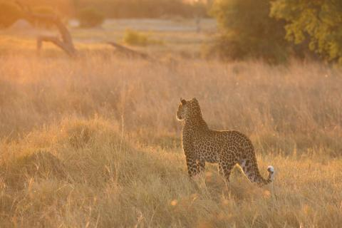 Leopard im Golden Light