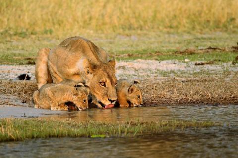 Löwin mit Jungen am Wasser