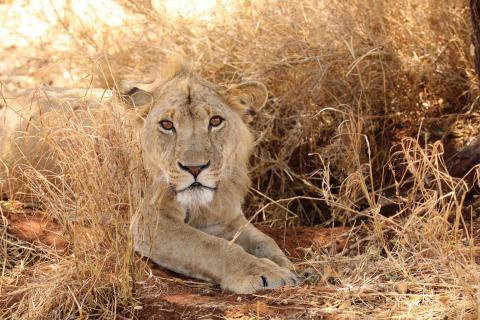 Junger Löwe im Tarangiere NP