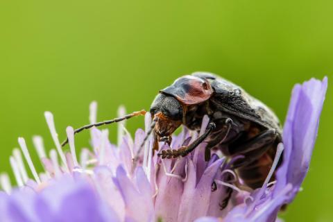 Der Käfer mit dem Basecap