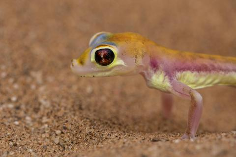 Palmatogecko
