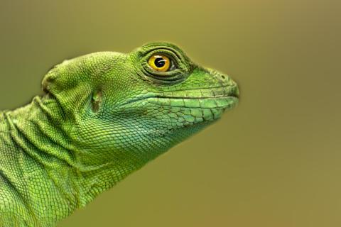 Der kleine grüne Leguan