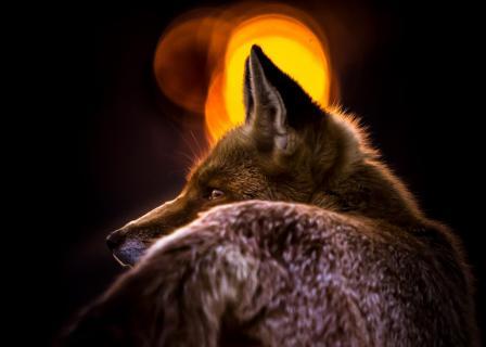 Rotfuchs vor der untergehenden Sonne